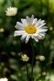Margarita de la flor en el verano Fotos de archivo