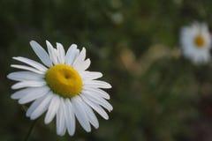 Margarita de la primavera imagen de archivo