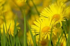 Margarita de la primavera Imágenes de archivo libres de regalías