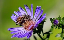 Margarita de Michaelmas y una abeja Imagen de archivo libre de regalías
