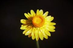 Margarita de papel amarillo Foto de archivo libre de regalías