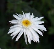Margarita de Shasta foto de archivo libre de regalías