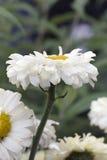 Margarita de Shasta Imagenes de archivo