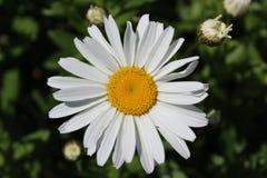 Margarita de Shasta de la plena floración en julio Fotos de archivo