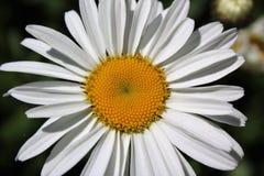 Margarita de Shasta de la plena floración en julio Imagenes de archivo