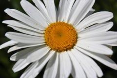 Margarita de Shasta en la plena floración en julio Foto de archivo libre de regalías