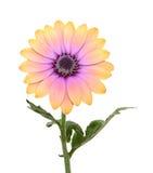 margarita del crisantemo Foto de archivo libre de regalías