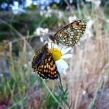 Margarita del fiore di farfalla Immagine Stock Libera da Diritti