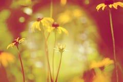 Margarita del verano Imagenes de archivo
