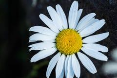 Margarita del verano en parque nacional olímpico Imagen de archivo