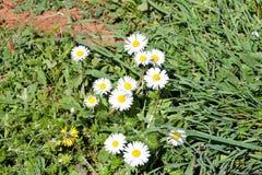 Margarita El campo blanco hermoso de margaritas florece en jardín Primavera y fondo de las flores del verano y ambiente natural h Foto de archivo libre de regalías