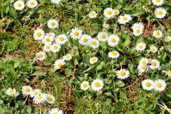 Margarita El campo blanco hermoso de margaritas florece en jardín Primavera y fondo de las flores del verano y ambiente natural h Fotos de archivo libres de regalías