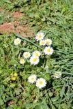 Margarita El campo blanco hermoso de margaritas florece en jardín Primavera y fondo de las flores del verano y ambiente natural h Imágenes de archivo libres de regalías