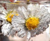 Margarita en agua chispeante Foto de archivo libre de regalías