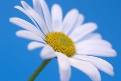 Margarita en azul imagen de archivo libre de regalías