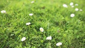 Margarita en cierre de la hierba verde para arriba metrajes