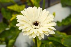 Margarita en el jardín Imágenes de archivo libres de regalías
