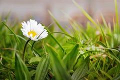 Margarita en flor del jardín/de la primavera imagen de archivo libre de regalías