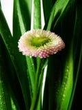 Margarita en hierba con gotas de lluvia fotos de archivo libres de regalías