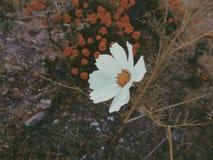 Margarita en jardín Fotos de archivo
