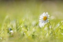 Margarita en la hierba cubierta de rocio Fotos de archivo