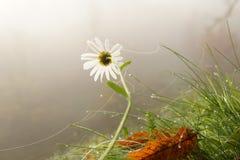 Margarita en niebla Imagenes de archivo