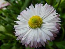 Margarita, flor, jardín, césped, prado, al aire libre, ramo, verano, plantas, belleza, naturaleza, pétalos imagen de archivo