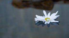 Margarita flotante Imagen de archivo libre de regalías