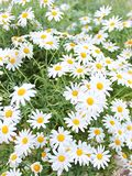 Margarita Flower in tuinen royalty-vrije stock fotografie