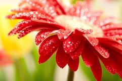 Margarita-gerbera rojo Foto de archivo libre de regalías