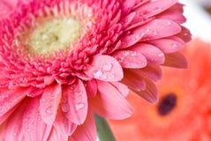 Margarita-gerbera rosado del primer con gotas del agua Foto de archivo