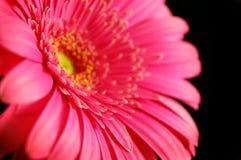 Margarita hermosa Fotos de archivo