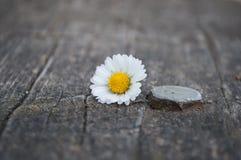 Margarita kwiat, ławka, śruba Fotografia Royalty Free