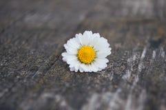 Margarita kwiat, ławka Obraz Royalty Free