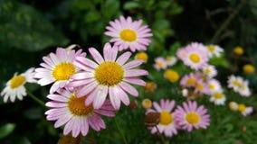 Margarita, Leucanthemum Vulgare, margarida Fotos de Stock Royalty Free