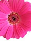 Margarita magenta Foto de archivo libre de regalías