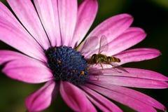 Margarita magenta con la abeja Imágenes de archivo libres de regalías
