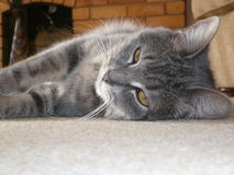Margarita, mi gato. Imágenes de archivo libres de regalías