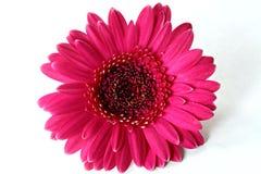 Margarita oscura del Gerbera del color de rosa caliente Foto de archivo
