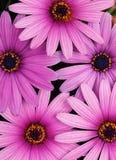 Margarita púrpura Fotografía de archivo libre de regalías