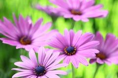 Margarita púrpura Fotos de archivo libres de regalías