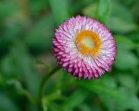 Margarita púrpura Fotografía de archivo