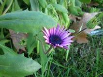 Margarita púrpura Imagen de archivo