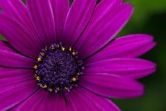 Margarita púrpura Imagen de archivo libre de regalías