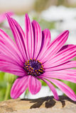 Margarita púrpura de Sunscape Fotografía de archivo libre de regalías