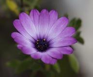 Margarita púrpura del girasol, Osteospermum púrpura Fotografía de archivo