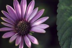 margarita púrpura en luz del sol por la mañana en fondo negro Foto de archivo libre de regalías