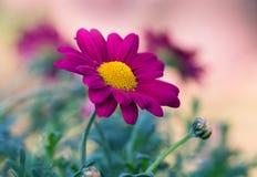 Margarita púrpura hermosa, fondo colorido, Foto de archivo libre de regalías