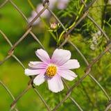 Margarita que crece a través de la cerca de alambre Imagenes de archivo