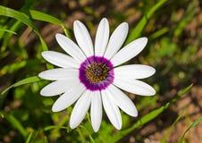 Margarita redonda grande con los pétalos blancos y púrpuras Imagen de archivo libre de regalías